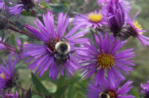 Bumblebee, Aster