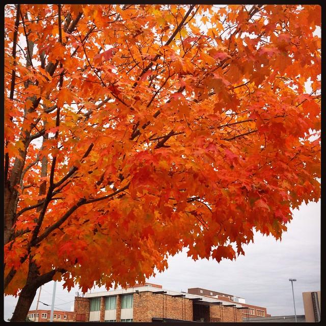 I so wish I could properly capture the fantastic ORANGEYNESS of this tree.   #taralovesmornings