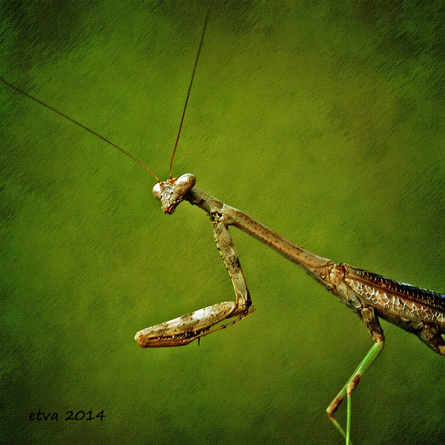 etva (Trying to catch up!) - Portrait of a Mantis