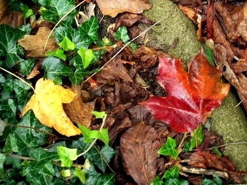 Ahornblätter und Efeu