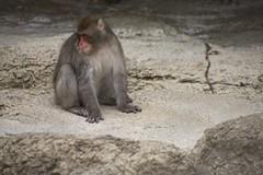 baboon(0.0), japanese macaque(0.0), animal(1.0), monkey(1.0), mammal(1.0), fauna(1.0), old world monkey(1.0), macaque(1.0), wildlife(1.0),