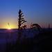 Sea Oats at Sunrise