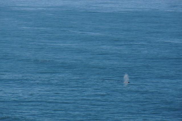 Whale near Trinidad, CA