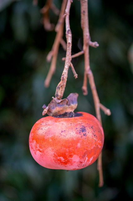 red-ripe persimmons