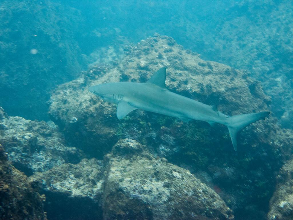 Galapagos Shark, Wolf Island, Galápagos