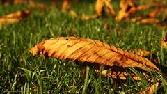 Liegendes Herbstblatt