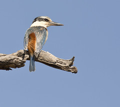 Red backed Kingfisher