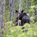 One more Algonquin moose.