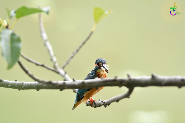 Common_Kingfisher_4691