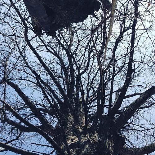 空襲の跡が残る、御神木の夫婦鴨脚樹(めおといちょう) #天祖神社 #大塚