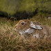 Mountain Hare by jackie#1981