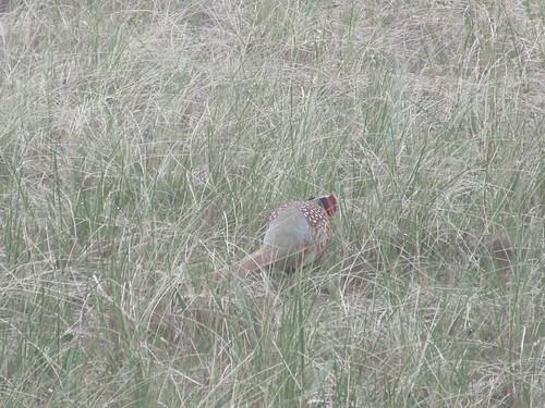 Ocean Shores:  Pheasant
