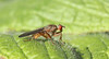 Dung fly_3766