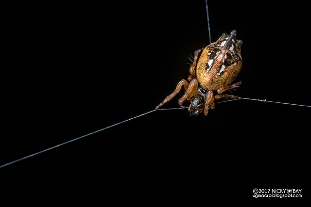 Trashline orb weaver (Cyclosa sp.) - DSC_3029