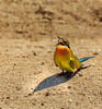 Bee Eater having a dust bath 2