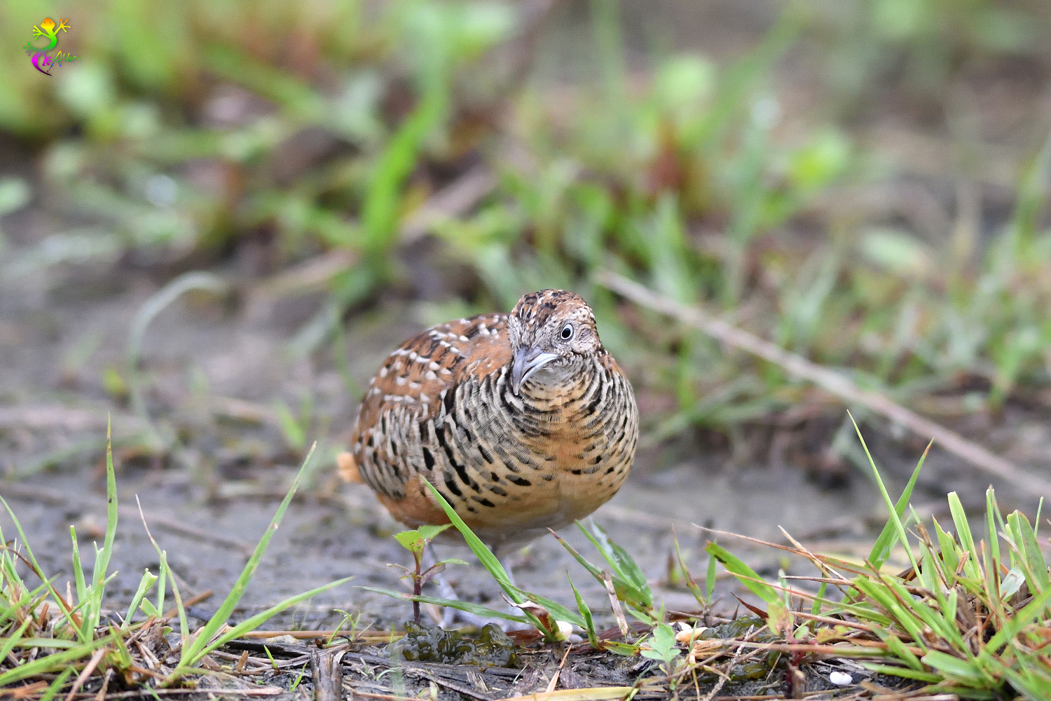 Barred_Buttonquail_9255
