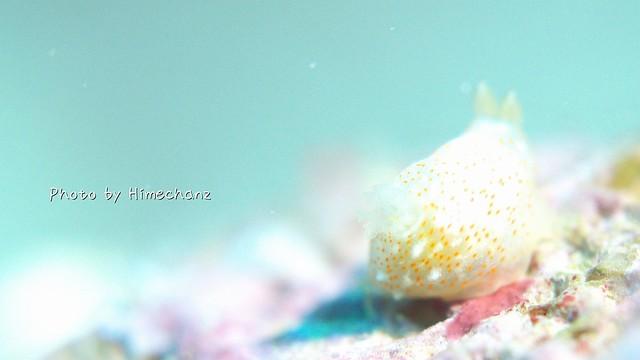 シロボシキヌハダウミウシ ぷっくりおしり。