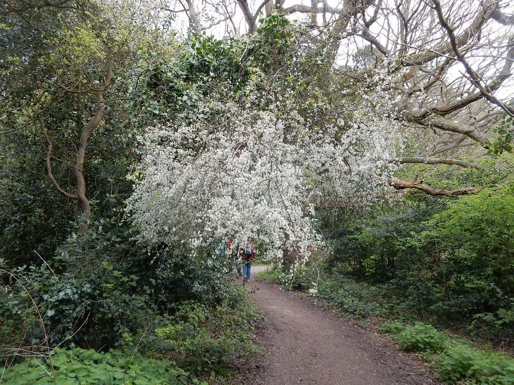 A flowering spray Possibly blackthorn. Whyteleafe to Woldingham