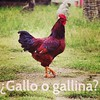 ¿Gallo o gallina? #learnspanish #learnspanishinoaxaca #taller21 #spanishvocabulary #vovabularioenespañol #wordoftheday #palabradeldia