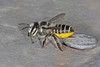 Megachile (Eutricharaea) simplex IMG_7690AA