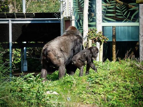 Gorillas, Bristol Zoo