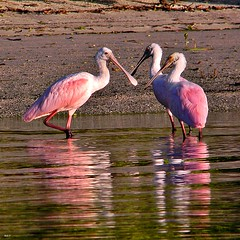 ibis(0.0), flamingo(0.0), animal(1.0), wing(1.0), fauna(1.0), reflection(1.0), beak(1.0), spoonbill(1.0), bird(1.0), wildlife(1.0),
