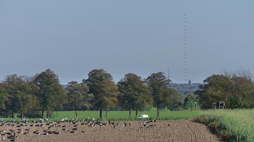 Viele Vögel auf dem frisch gepflügten Acker vor Brusendorf