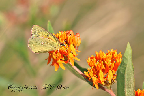 Orange Sulphur Butterfly (#5b) of the Meadow Garden at Longwood Gardens in Kennett Square of PA