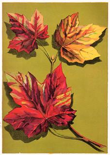Maple leaf chromolithograph