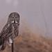 Great Gray Owl...#5