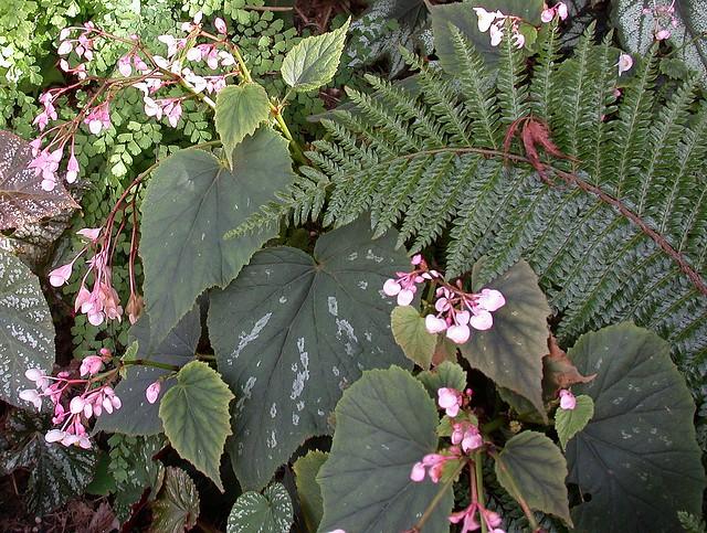 Begonia grandis 'Nanjiang Silver'