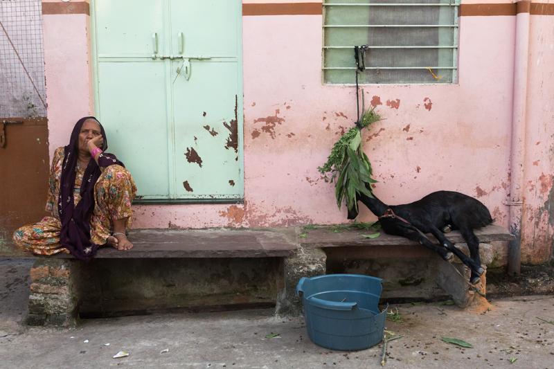 Goat, Udaipur