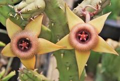 Huenia procumbensis hybrid