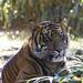Smithsonian National Zoo (798) Sumatran Tiger