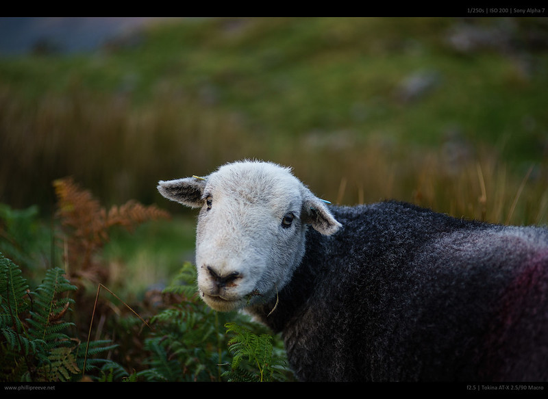 lake district - sheep