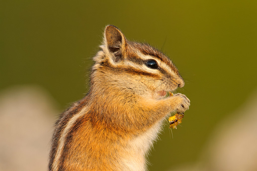 A Townsend's chipmunk eats a grasshopper in Mount Rainier National Park