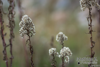 Vertrocknete Blüte | Projekt 365 | Tag 286