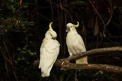 cockatoo, animal, branch, yellow, wing, pet, nature, sulphur crested cockatoo, green, fauna, beak, bird, wildlife,