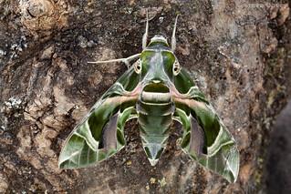 Oleander Hawk-moth (Daphnis nerii) ♀ Dorsal view.