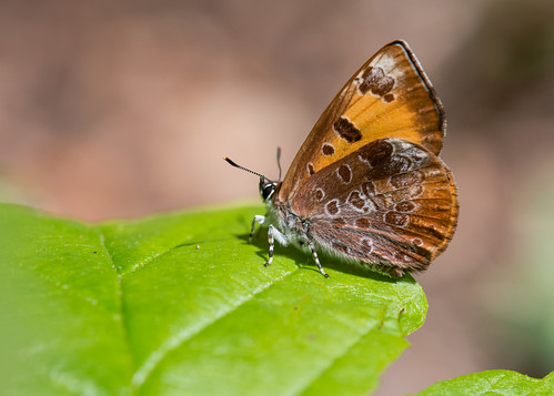 animals butterflies insects carnivorous lycaenidae fenisecatarquinius harvesterbutterfly melitinae