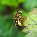 Epistrophe grossulariae hoverfly by davidcawthraw
