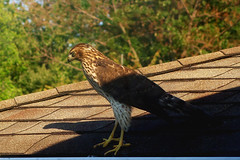 Hawk - eyeing my sparrows