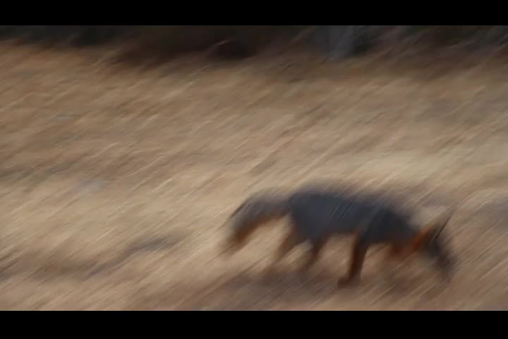 0334 Video of the California Channel Island Fox (Urocyon littoralis santacruzae) at the Del Norte Campground