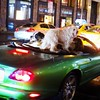 Dogs on a Jaguar at night in New York. Not sure what else I can say about this one.