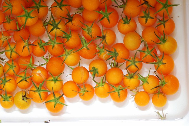 Sungold cherry tomatoes for the sauce for the harvest lasagna by Eve Fox, The Garden of Eating, copyright 2014