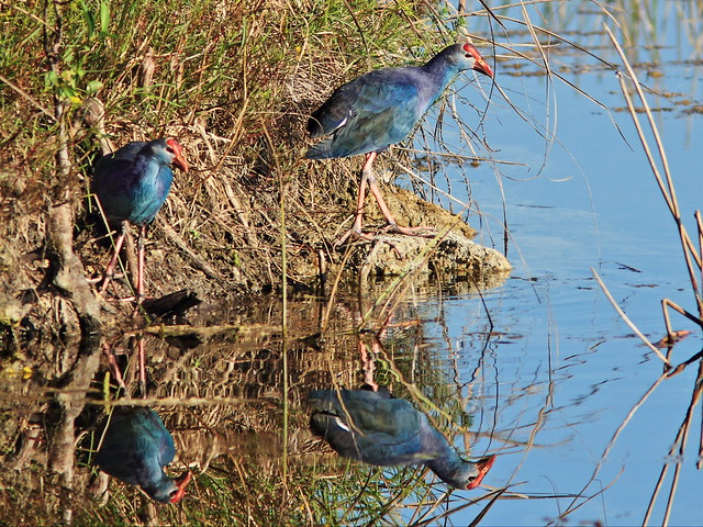 Purple Swamphens 05-20141030