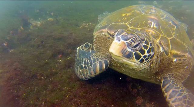 Tortuga verde en Galápagos