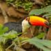 Toco Toucan (Ramphastos toco) - Parker Aviary - San Diego Zoo by Jim Frazee