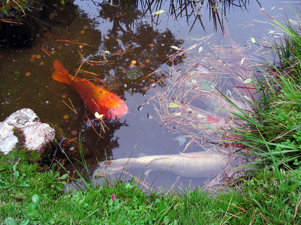 Japanese tea garden san francisco photos aravinda loop for Japanese garden san jose koi fish