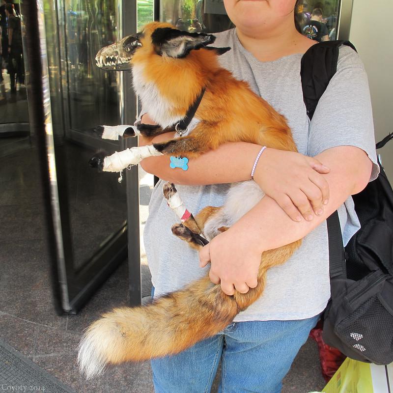 Pet zombie fox